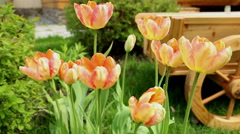 tulips and flower bed on the lawn5 - stock footage