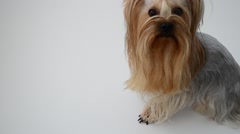 Yorkshire terrier on a white background, a dog. Stock Footage