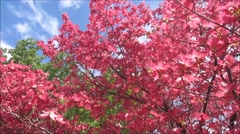 Pink dogwood, flower tree, blue sky Stock Footage