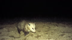 Opossum feeding in plowed field - stock footage
