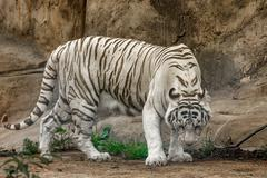 White tiger ( Panthera tigris) Stock Photos