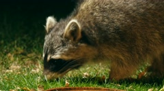 racoon searching for food in garden at night, portrait, - stock footage