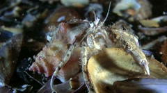 Small hermit crab (Diogenes pugilator). Stock Footage