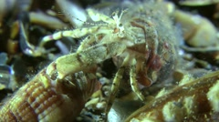 Pairing of Small hermit crab (Diogenes pugilator). Stock Footage