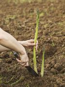 Healthy asparagus Stock Photos