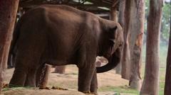 Baby Elephant in Nepal Stock Footage