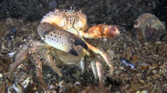 Reproduction: Spawning of Warty crab (Eriphia verrucosa). Stock Footage