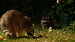 racoon with offspring in garden at night searching for food - stock footage