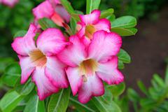 Beautiful flower adenium Stock Photos