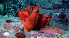 Sandy Red Seabed With Colorful Sponges Japan Sea. Stock Footage