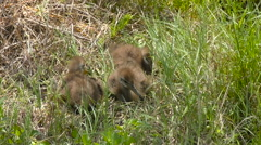 Baby limpkins Stock Footage