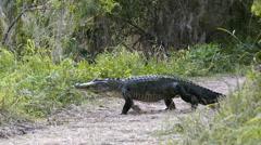 American alligator Stock Footage