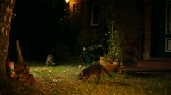 racoon with offspring in front of house exploring garden - stock footage
