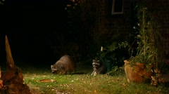 Racoon with offspring searching for food close to house Stock Footage