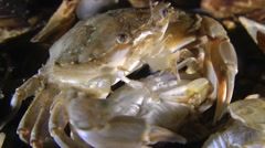 Mating of Swimming crab (Liocarcinus holsatus). Stock Footage