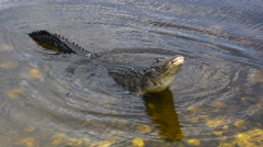 Large Bull Male Alligator Stock Footage