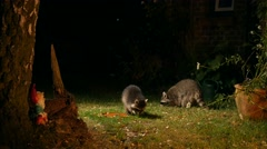 two racoons close to house searching for food at night - stock footage