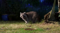 Racoon in garden eats and searchs for food Stock Footage