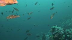 Flock school of brown fish in the green waters of Japan Sea. Stock Footage