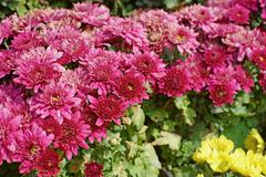 beautiful magenta chrysanthemum - stock photo