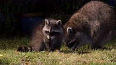 Racoon with cute offspring go foraging in garden at night Stock Footage