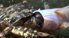 Marbled rock crab (Pachygrapsus marmoratus). Stock Footage