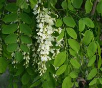 Flowers of a white acacia against green foliage. - stock photo