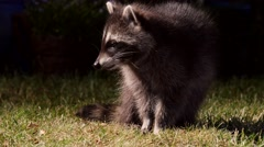 Young cute racoon finds something delicious in garden and eats, close Stock Footage