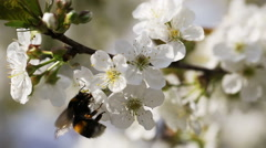 Bumlebee Pollinating Flowers Of Cherry Tree Stock Footage