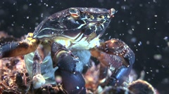 Reproduction of marble crab (Pachygrapsus marmoratus). Stock Footage