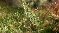 Sea prawn (Palaemon elegans). - stock footage