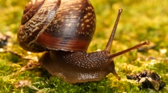 snail creeps across moss, time lapse - stock footage