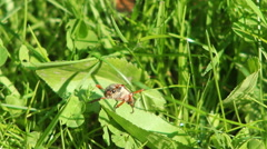 Forest cockchafer Melolontha hippocastani struggling in the grass and flies away Stock Footage