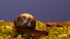 Snail creeps across moss, time lapse, blue screen Stock Footage