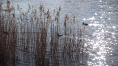 Dry reed in the sunlight against river Stock Footage