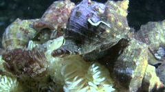 Veined whelk (Rapana venosa). Stock Footage