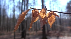 Autumn dry leaf in the wind Stock Footage