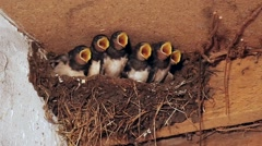 Six young swallows in nest begging and are fed, slomo Stock Footage