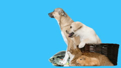 Animal  looking, chroma key Stock Footage
