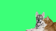 Husky dog and red cat looking at a green screen Arkistovideo