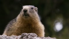 Alpine marmot, static on a rock Stock Footage