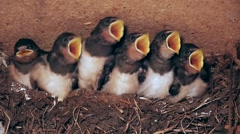 Six young swallows are begging intensively and are fed two times, slomo, closeup Stock Footage