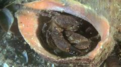 Jaguar round crab (Xantho poressa). Stock Footage