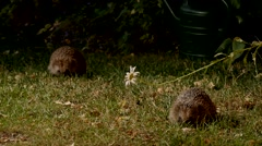 Two hedgehogs foraging in garden at night Stock Footage