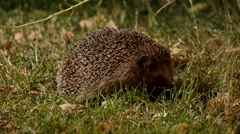 Hedgehog in garden finds something delicious to feed at night Stock Footage