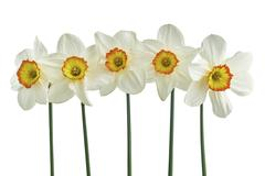 Five narcissus isolated - stock photo