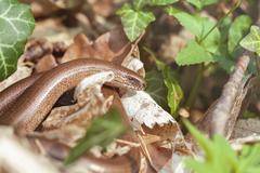 Slow Worm - Anguis fragilis Kuvituskuvat