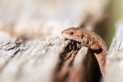 Curious Lizard Stock Photos
