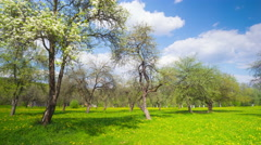 Spring apple orchard, panoramic time-lapse Stock Footage