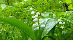 White Lily of valley after the rain in wind. Stock Footage